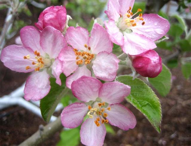 Apple Blossom | Sandy the Social Butterfly