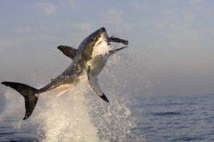 Nothing quite as beautiful as a shark breaching