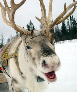 reindeer-laughing